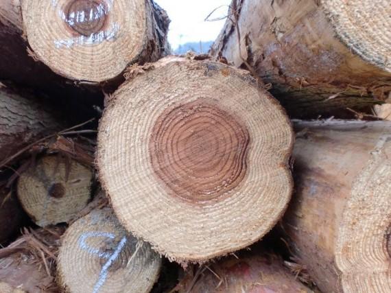 間伐材の切口 (拡大)