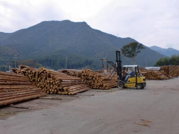 入荷した間伐材の選木作業 (フォークリフトで径級別に選別)