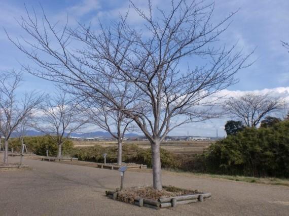 「おの桜づつみ回廊」 寄付樹の育成状況