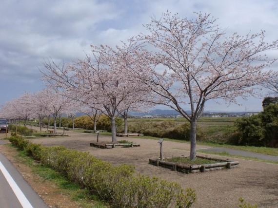 弊社の寄付樹2本 (染井吉野 H14年植樹)