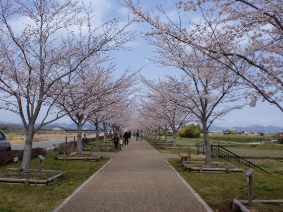 「おの桜づつみ回廊」の桜並木 (開花状況はH23.4.9撮影)