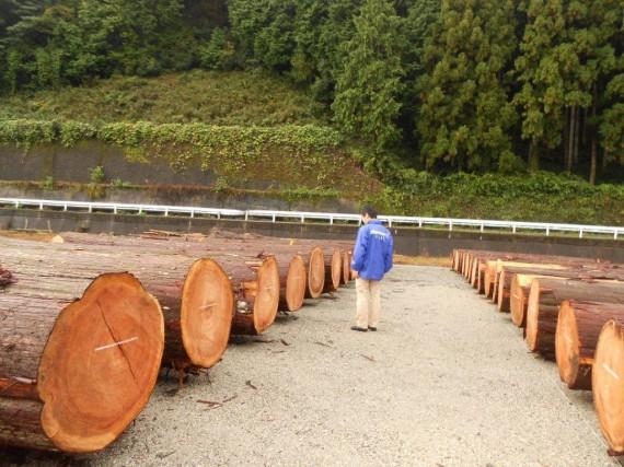 原木市場に並んだ約150年生の吉野杉