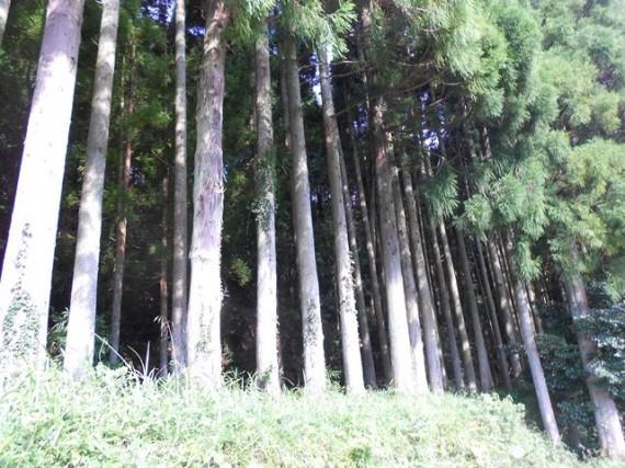 岩座神の山林  (耕作しにくい棚田に木を植えた山林です)