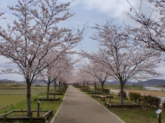 「おの桜つづみ」の桜並木 (弊社がCSR活動の一環として寄付した桜もあります)