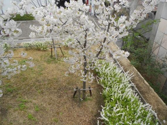 ほころび始めた「桜」と緑化支柱(資材)
