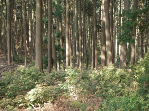 下草や低木が茂り、元気な山林 (こんな山林が、あるべき姿だと考えています)