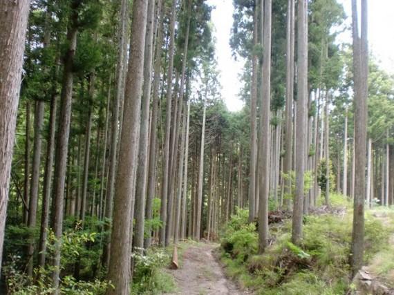 林道も設置され、間伐が適切に行われた山林 (木の根元に下草や低木が生え、保水力も高まっています)