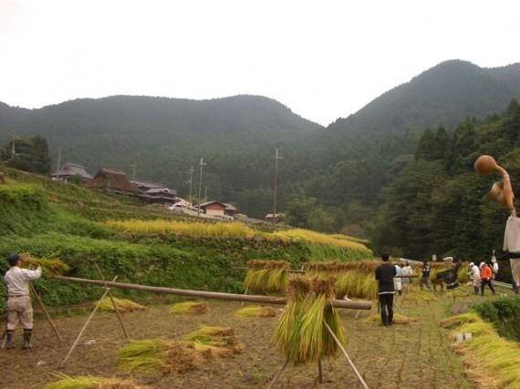 「棚田オーナー制度・稲刈り」で、稲木に稲をかけているところ