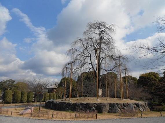 「しだれ桜」に添えられた「植木支柱」 (花が咲いた時も見てみたい)