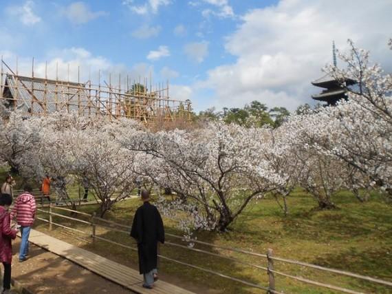 「桜」越に見る「足場丸太組み」と「五重の塔」と「仁和寺の法師?」