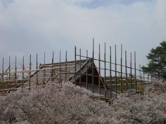 「桜」越しに見る「足場組み」 (丁度、屋根の高さでした)
