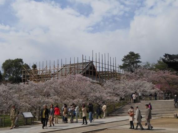 「御室桜」に感動する観光客(拝見者) (間伐材マイスターも桜に見とれ、足場組みにも見とれました)
