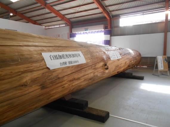 樹齢約1000年の「修理用材」(台湾桧)